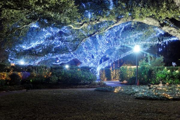 One of the Dueling Oaks lit up during Celebration in the Oaks.
