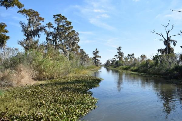 Cut off from the freshwater and flow of the Mississippi River, Maurepas Swamp trees are dying.