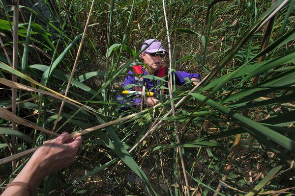 Linda Hooper-Bui, of LSU's Department of Environmental Sciences, searches roseau cane for signs of the invasive scale insect. Large areas of roseau are being replaced by weaker plants that don't resist erosion.