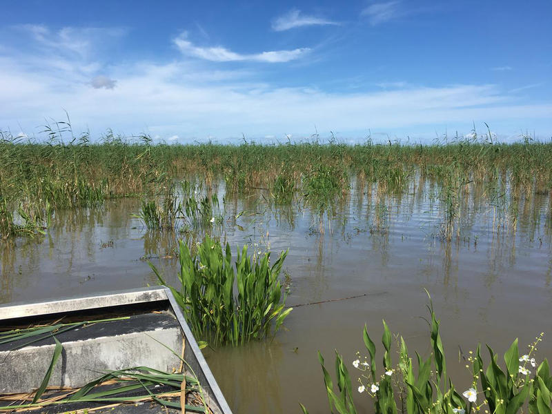 An invasive bug has been killing a marsh plant known as roseau cane. Huge swaths on the coast have been thinning out, as seen here. More than a year since the problem was first noticed, the state is pulling in more money to fight the problem.