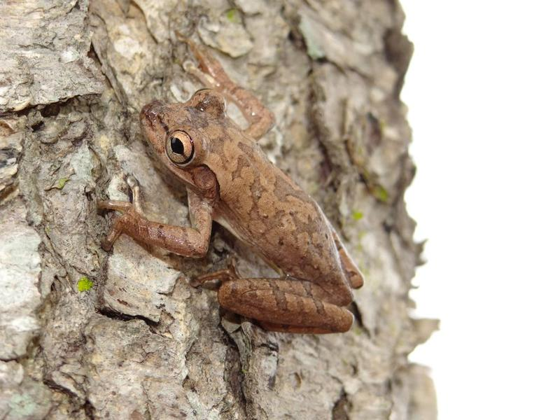 This Cuban treefrog was found with brown camouflage colors on a tree.