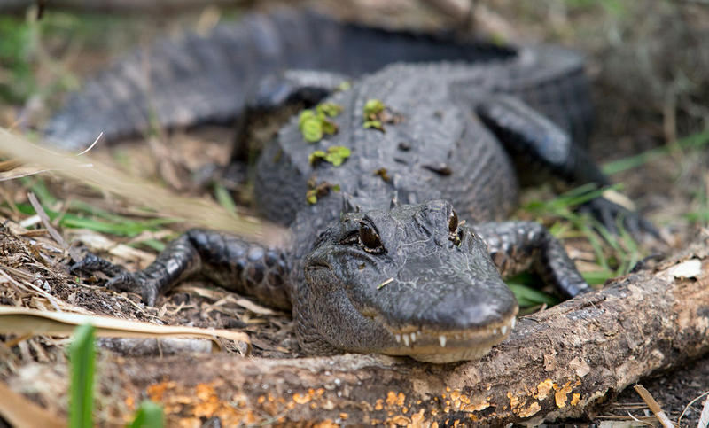 The American alligator, like this one seen in Jean Lafitte National Park's Barataria Preserve, was once an endangered species.