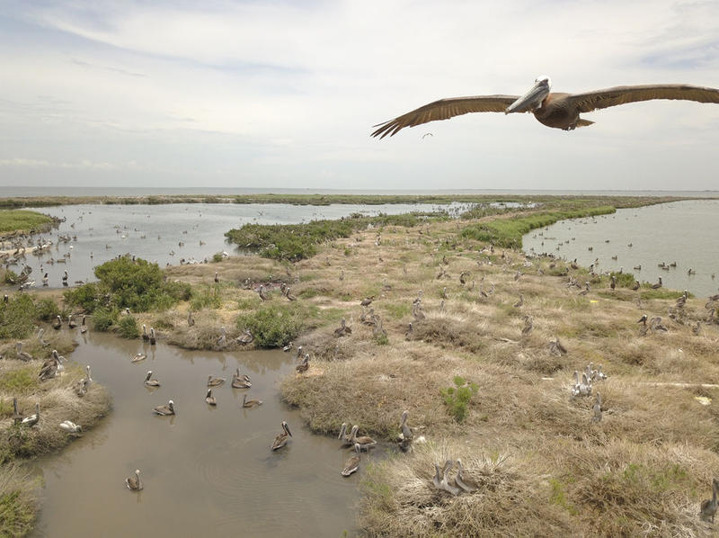 Brown pelicans nesting on Queen Bess Island in Barataria Bay, north of Grand Isle. The brown pelican was once listed as an endangered species.
