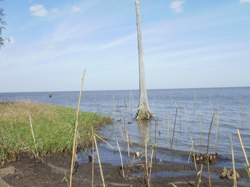 Cypress trees lining Lake Pontchartrain near the Bonnet Carre Spillway are dying from salt water intrusion.