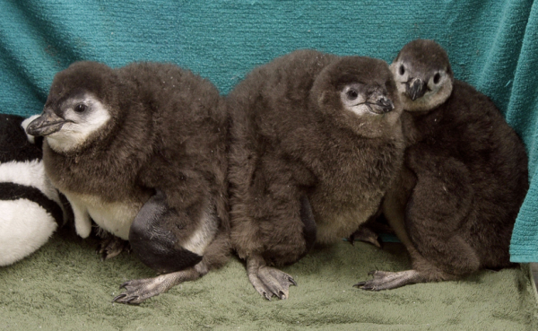 Opal, Humpty and Dumpty, the latest African Blackfooted penguin chicks hatched at the Audubon Aquarium.