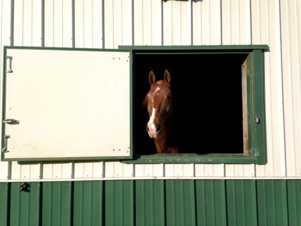 A horse at Cascade Stables, in its stall for the night.