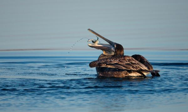 A pelican eating a Menhaden.