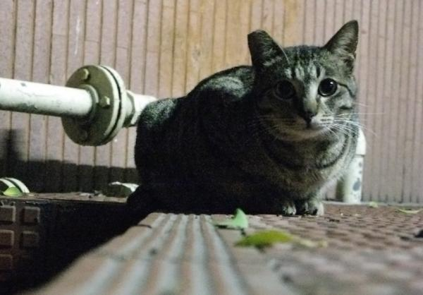 Ear-tipped cats have been sterilized and released to help stabilize wild cat populations.