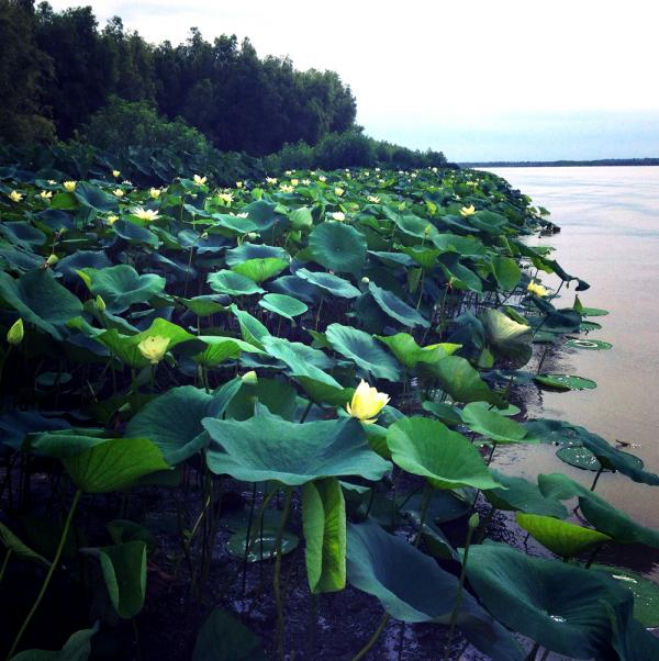 Waterlillies bloom in the Wax Lake Delta.