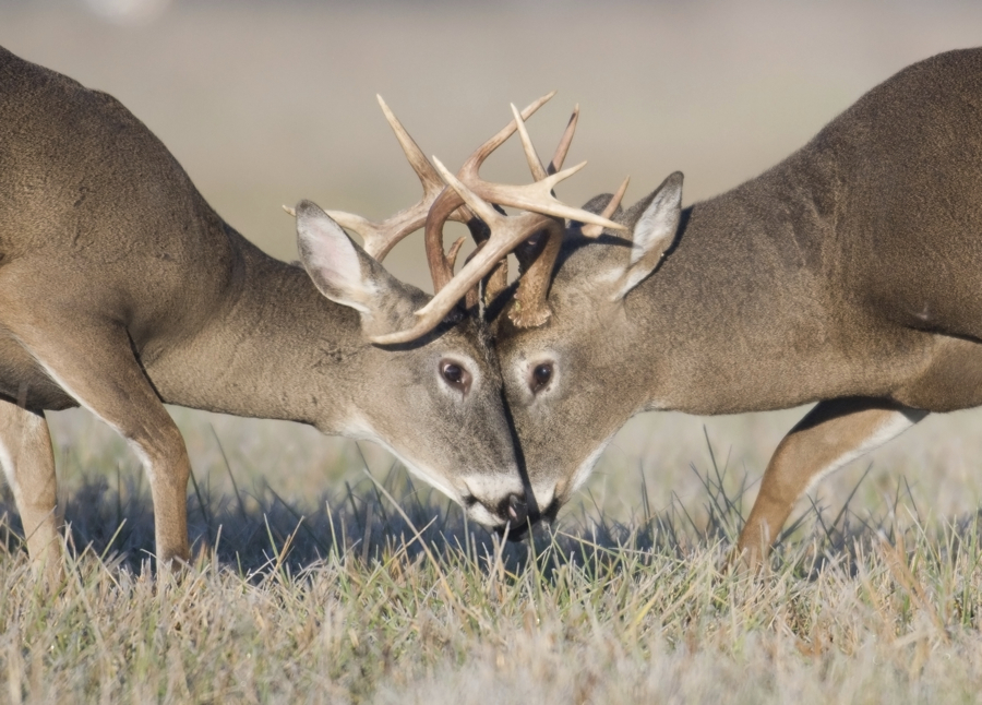 White Tailed Deer Thinglink