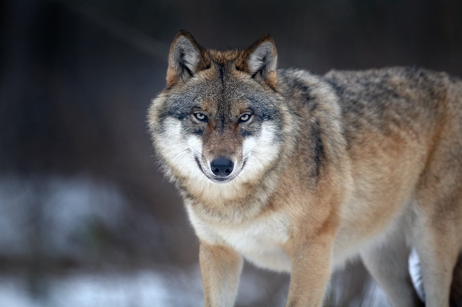 wisconsin s green fire opposes latest wolf legislation wxpr