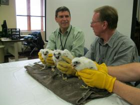 "Wisconsin Public Service President Chuck Cloninger (left) assists Greg Septon, President of the Wisconsin Peregrine Trust, (right) in the banding and official registration of this year's WPS Peregrine Falcon ""Class of 2013."" Seven Peregrine chicks recently hatched in nesting boxes on two WPS Power Plants located in Wausau and in Green Bay."