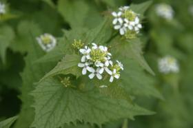 Garlic mustard is one terrestrial invasive that the DNR would like to keep in check.