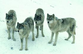 The state DNR has increased harvest quotas for wolves.