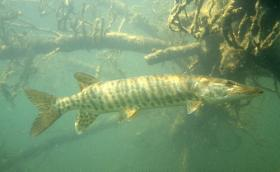 The musky is Wisconsin's state fish.