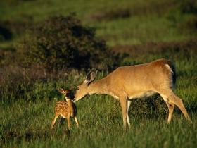 Doe and fawn count for two