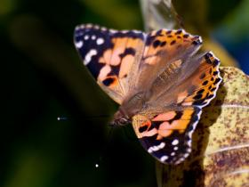 Event organizers will release 50 painted lady butterflies.
