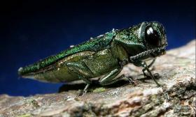 The emerald ash borer was most recently found in Superior.