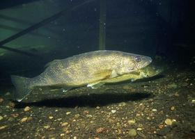 Walleye populations may benefit from warming temperatures in Lake Superior.