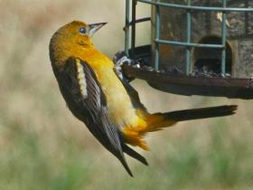 Songbirds like the baltimore oriole can benefit from bird feeders and backyard habitat.