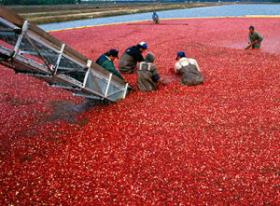 The cranberry harvest