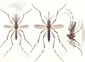 Wisconsin is home to more than 50 varieties of mosquito.