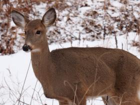 The DNR is taking input on its Deer Trustee Report implementation plan.