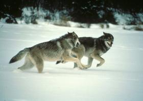 Over 180 wolves have already been taken in Wisconsin this wolf hunting season.
