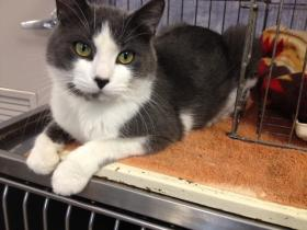 The Oneida County Humane Society is offering a discount for adopting cats like Tucker.