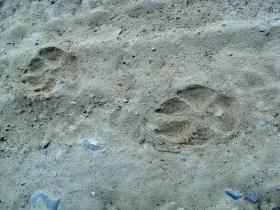 Volunteers must take a training course to learn to identify different animal tracks.