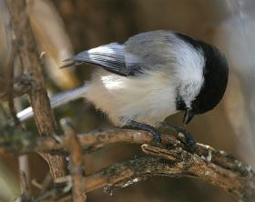 Black-capped chickadees are common at Northwoods bird feeders in winter.
