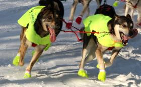 Even the Iditarod dogs are protected