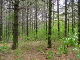 Managers say Laona's school forest has too many aging pines and invasive buckthorn.