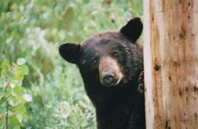 Bear hunting and bear baiting is highly regulated in Wisconsin.