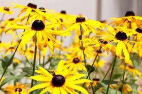 Black-eyed susans are one of a variety of native species encouraged by Iron County natural resources officials.