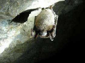 White nose syndrome is caused by a fungus that fatally interrupts bats' hibernation.