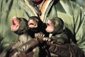 Newborn black bear cubs
