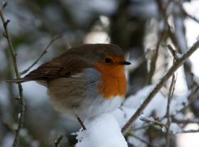 Robins returning in time for spring may be unprepared for wintry conditions.