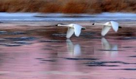 Trumpeter swans one species many birders may travel to see in Wisconsin.