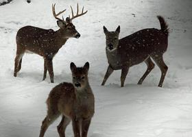 Hard times for the deer