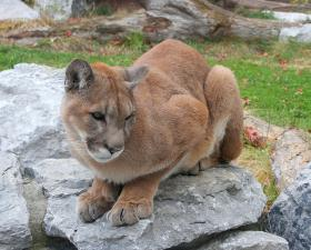 DNR wildlife biologist Jeremy Holtz predicts more local cougar sightings.