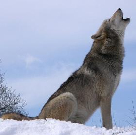Winter numbers show a sizable drop in the state's wolf population, but it is still higher than the target of 350 wolves.