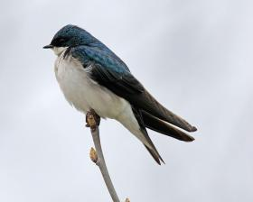 Tachycineta bicolor or Tree Swallow