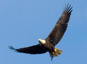 Eagle populations are on the rise in the Northwoods.