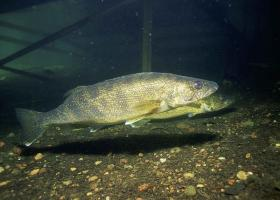 The DNR wants to help hatcheries raise larger fingerlings for stocking efforts.
