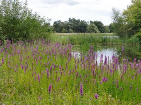 A recent roadside survey found only five locations of purple loosestrife in Three Lakes, WI.