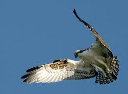 Ospreys are federally protected, so shootings of them are rare.