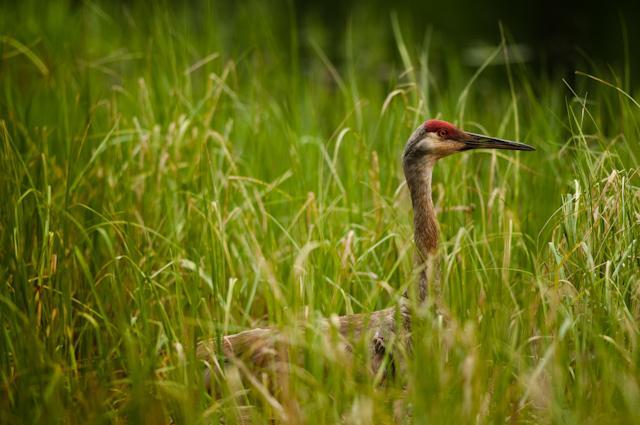 Nesting Sandhill Crane