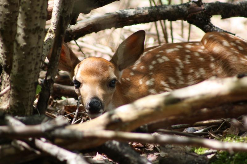 Fawn looks on from wooded cover