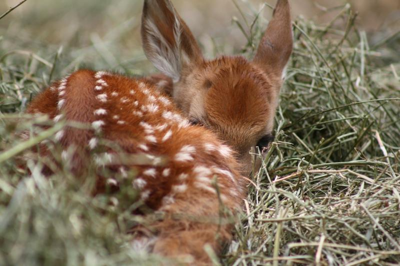 Newborn fawn on a soft bed of grass